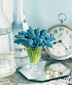 Blue grape hyacinth flowers in a glass vase