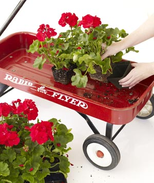 Geraniums being placed in red wagon