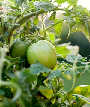 Green tomatoes - mistake 7