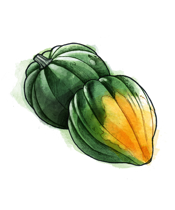 Types of winter squash - Acorn squash illustration