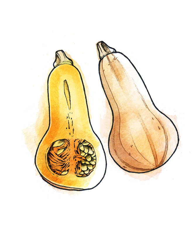 Types of winter squash - Butternut squash illustration