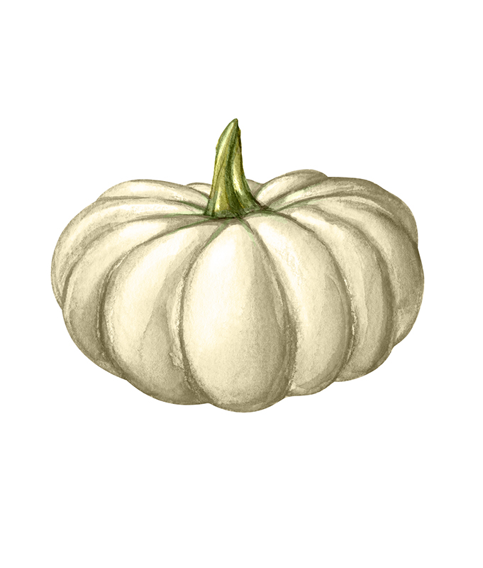 Types of winter squash - Calabaza squash illustration