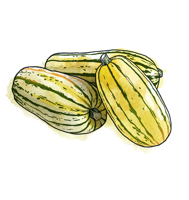 Types of winter squash - Delicata squash illustration