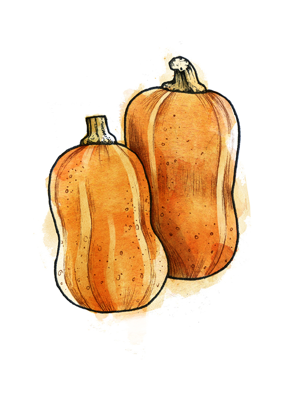 Types of winter squash - Honeynut squash illustration