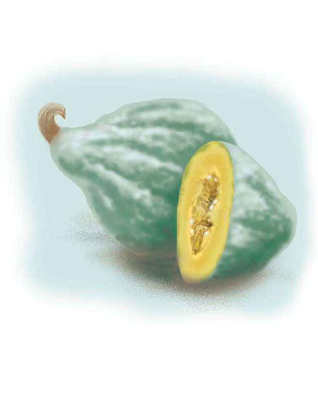 Types of winter squash - Hubbard squash illustration