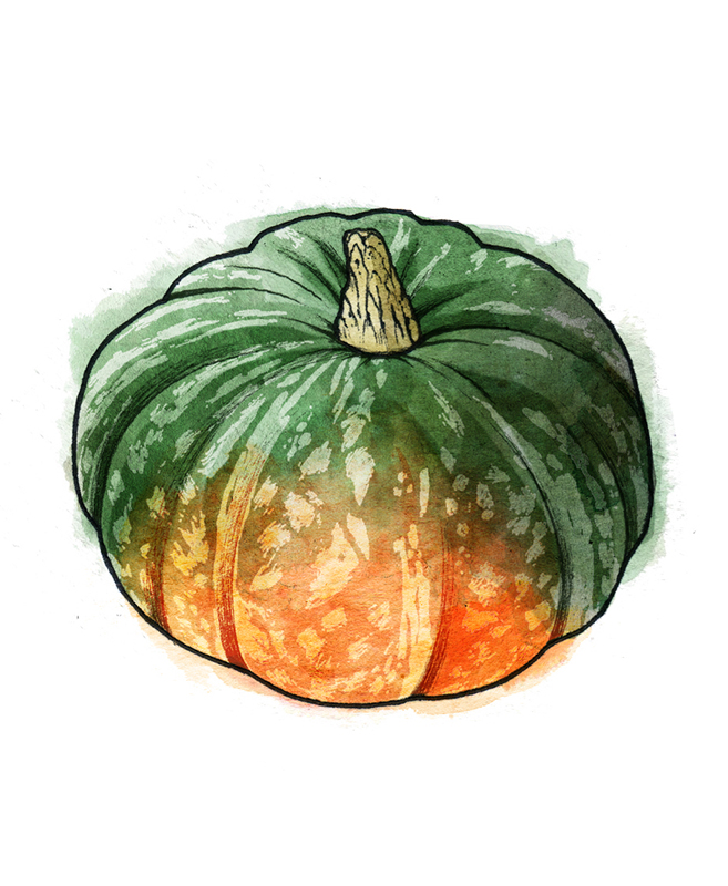Types of winter squash - Kabocha squash illustration