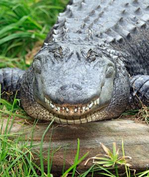 "Biggest ""Alligator"" Attraction: Swampy, Jungle Adventures Nature Animal Park"