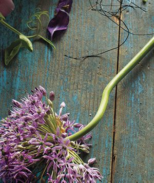 Purple allium laying on distressed blue wooden table