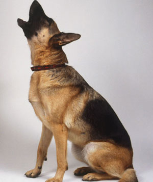 German Shepherd dog howling
