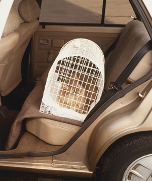 Cat sitting in pet carrier in the back seat of a car