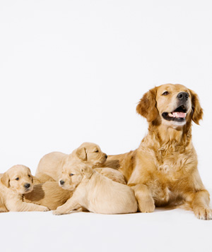 Golden retriever mother with puppies