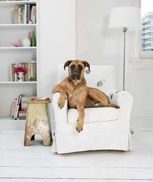 A pet dog sits on a chair with paw marks on it