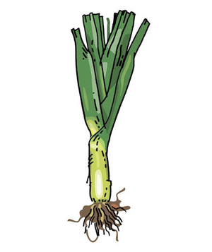 Illustration of leeks