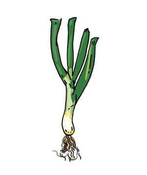 Illustration of scallions