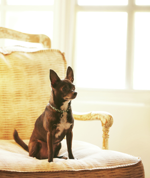 Brown chihuahua sitting on armchair