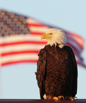 Bald eagle with American flag in the background