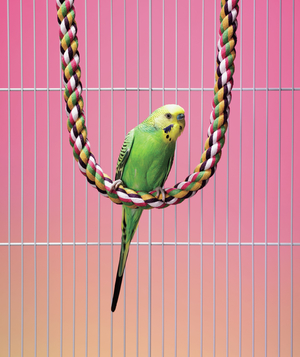 Green budgie (parakeet) perched on rope