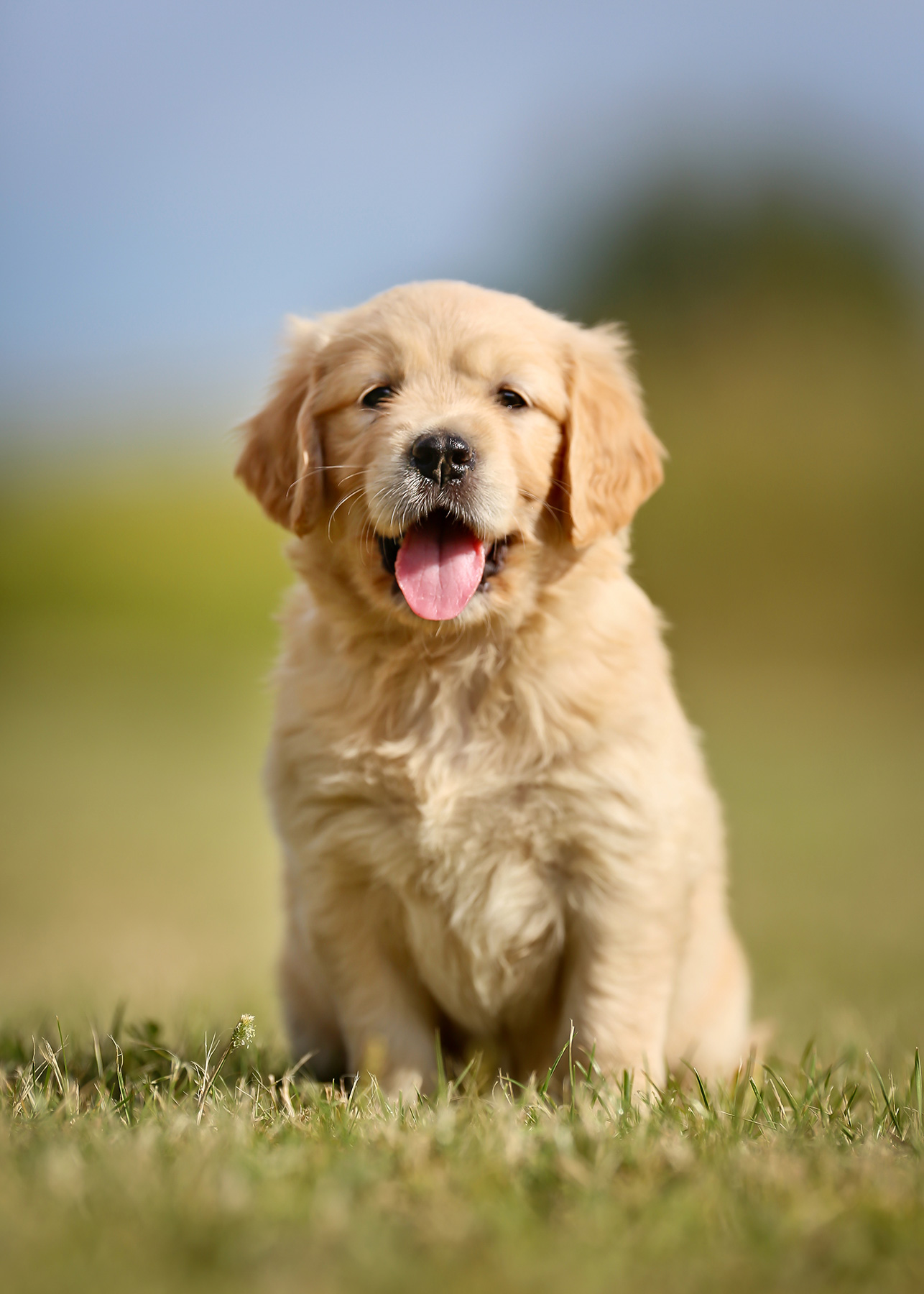 Golden retriever puppy sitting on grass