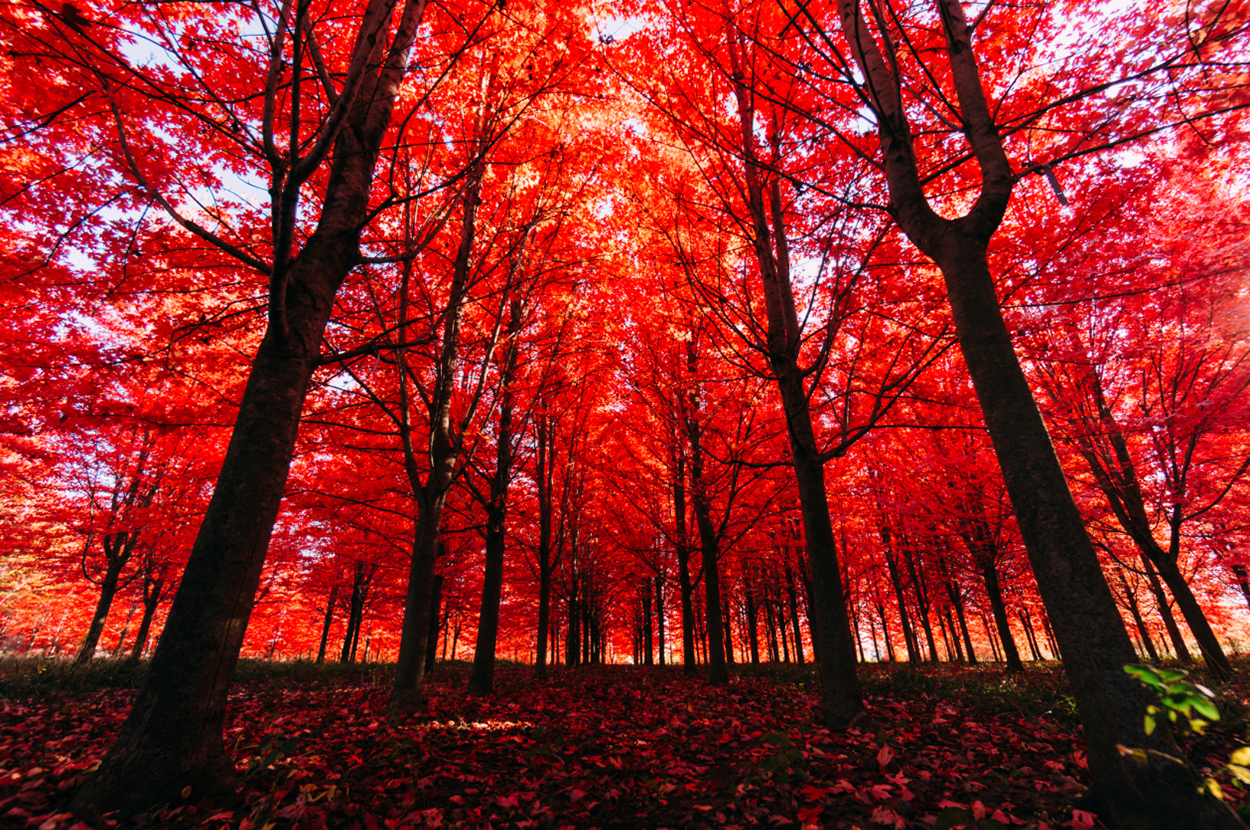 Autumn trees in forest with bright red leaves