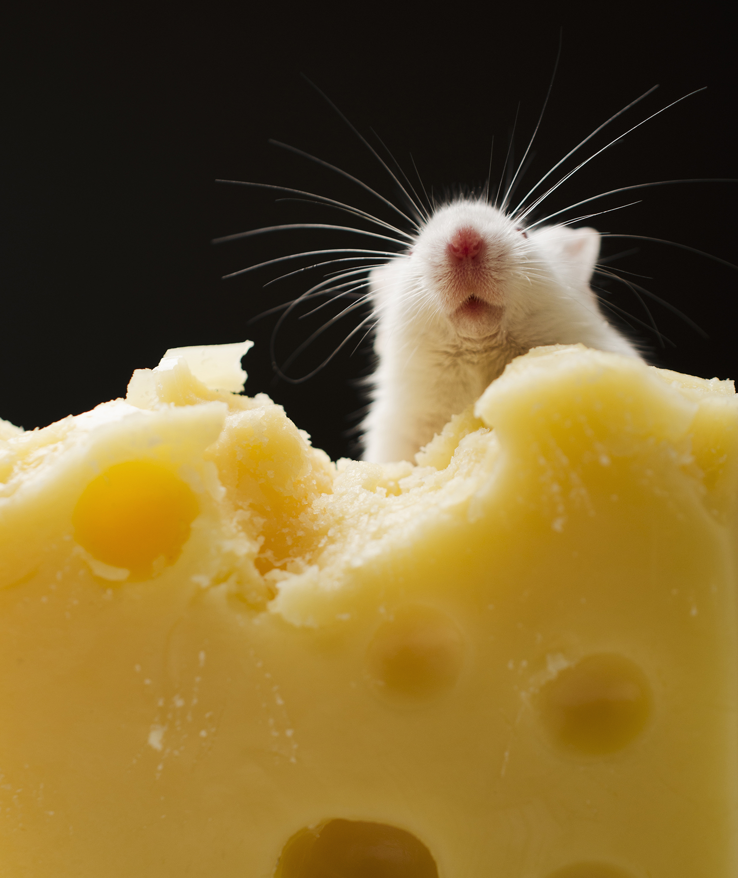 White mouse with hunk of Swiss cheese