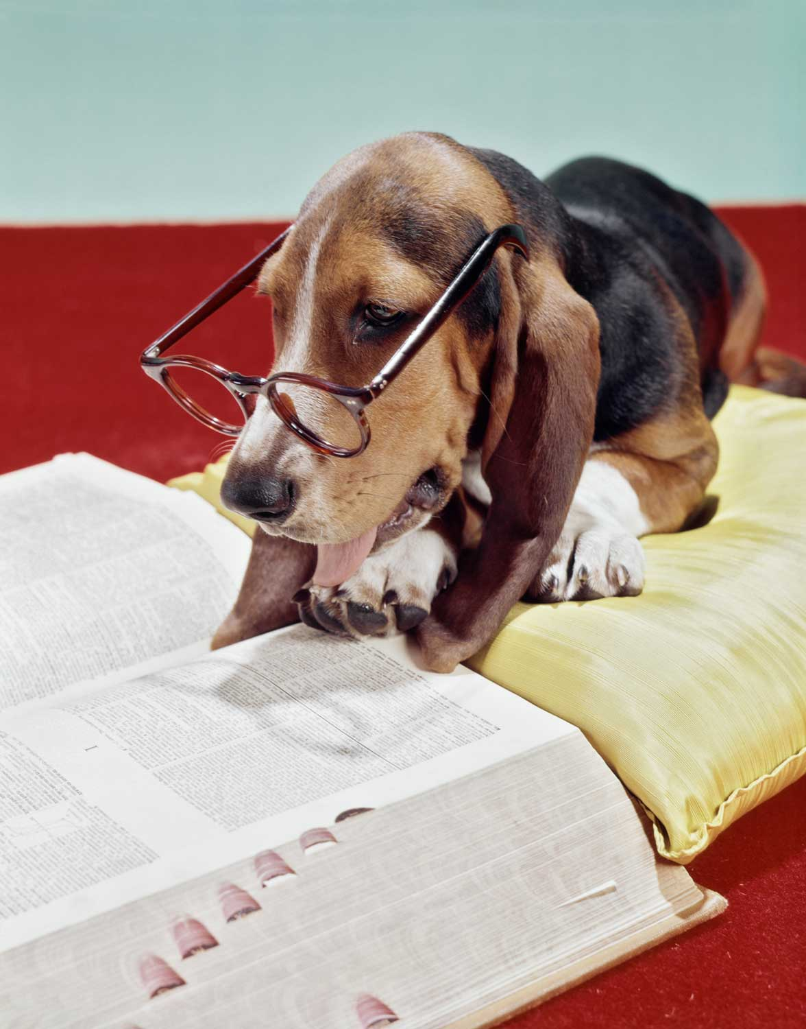 Basset hound reading the dictionary