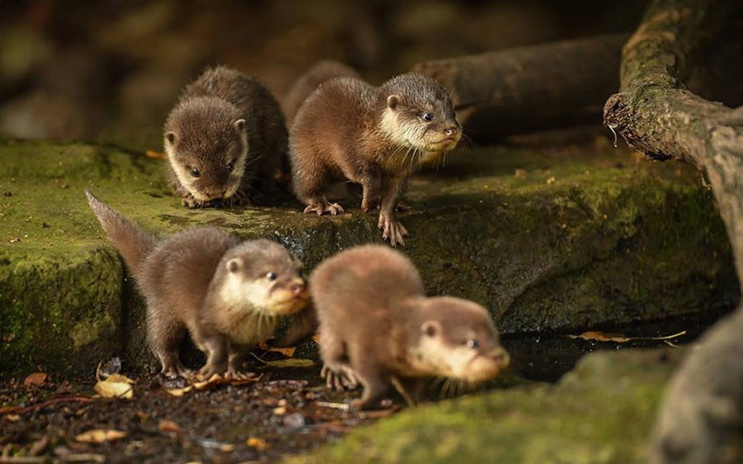 Baby Otters Born at the Chester Zoo