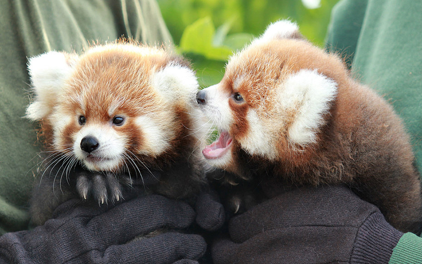 Two Red Panda Cubs Are Born