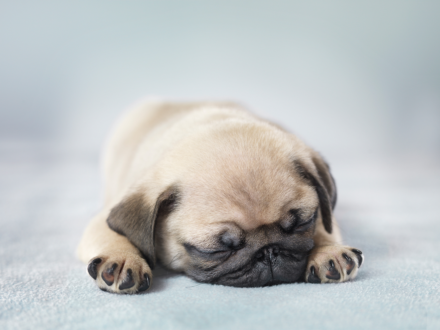 Pug Puppy Dreaming of Humans