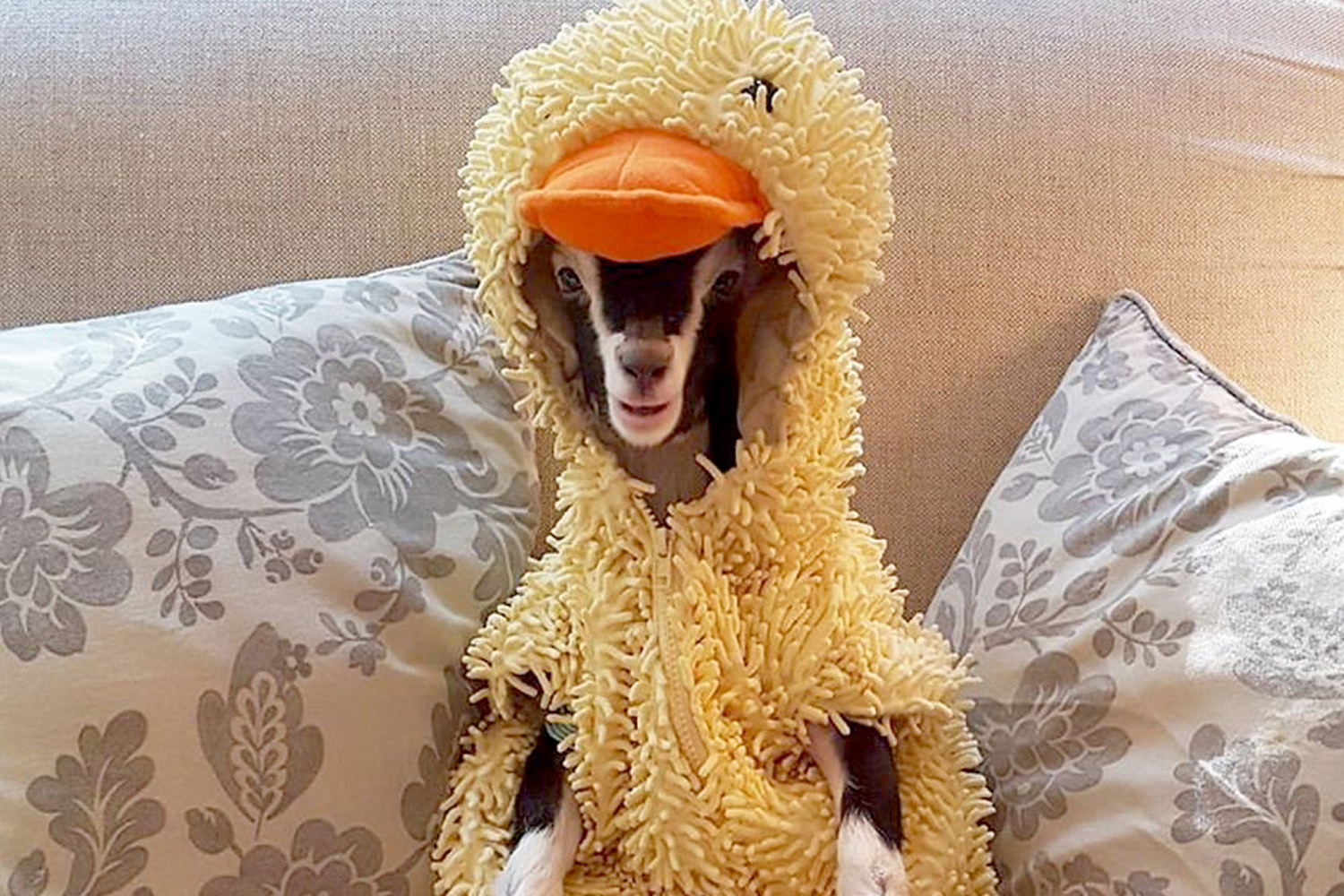 The Duck Goat Polly