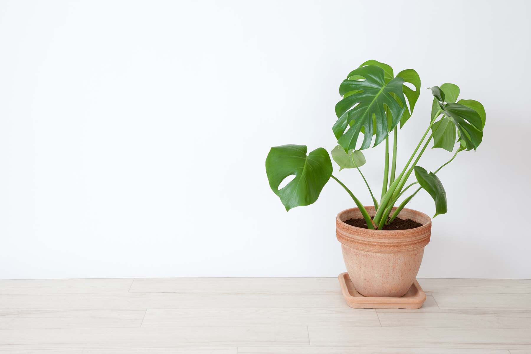 In a Dry Room: Philodendrons