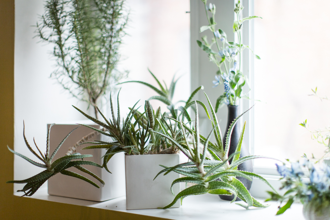 In a Dry Room: Succulents