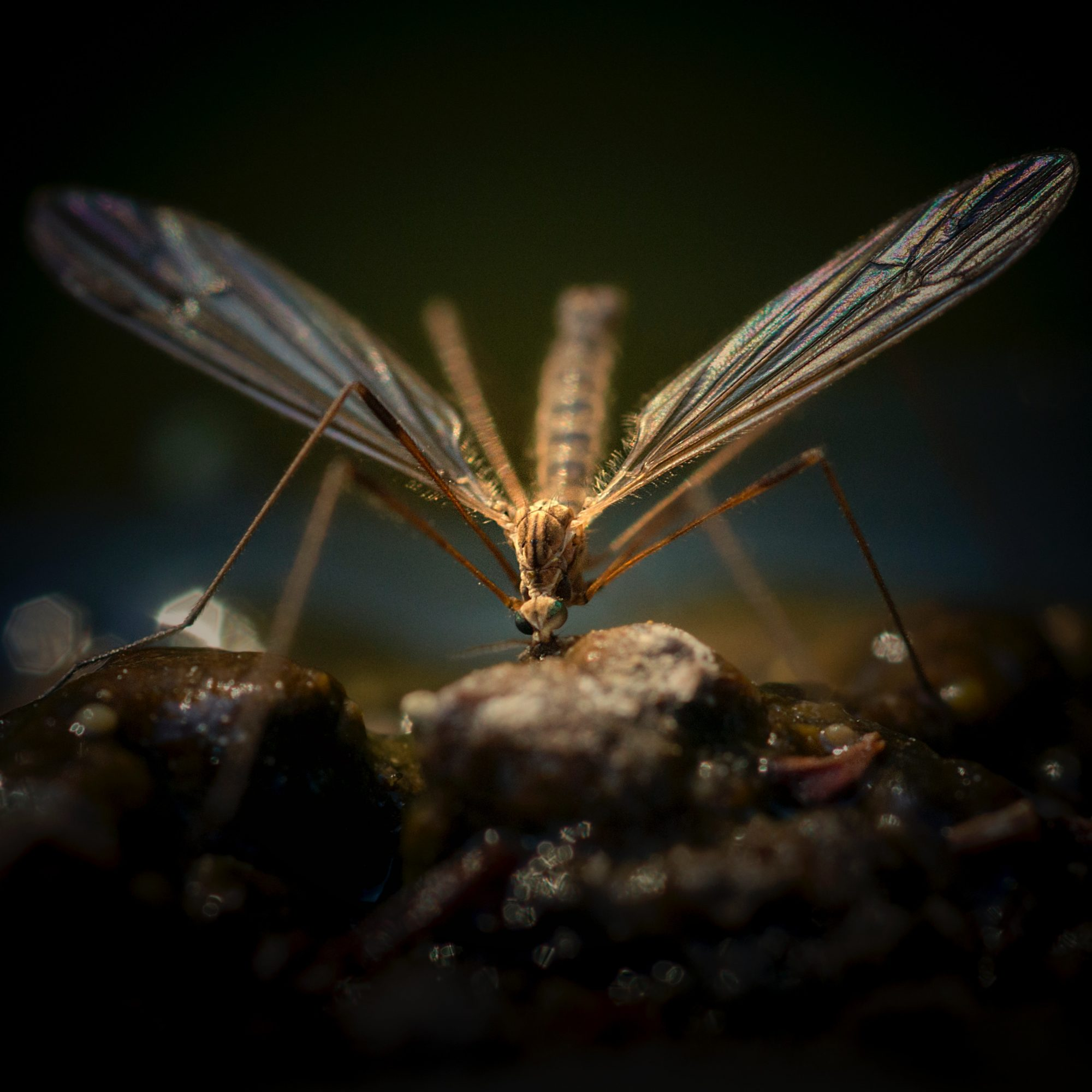 mosquito sitting on a rock