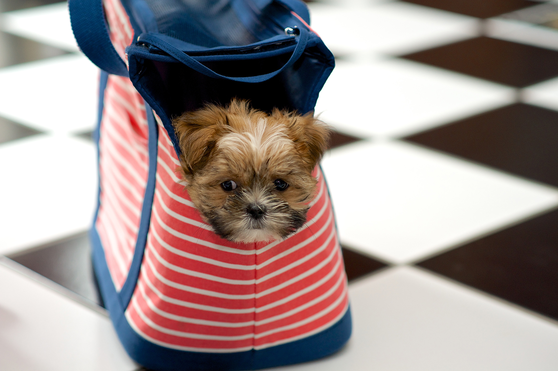Shorkie puppy in pet carrier