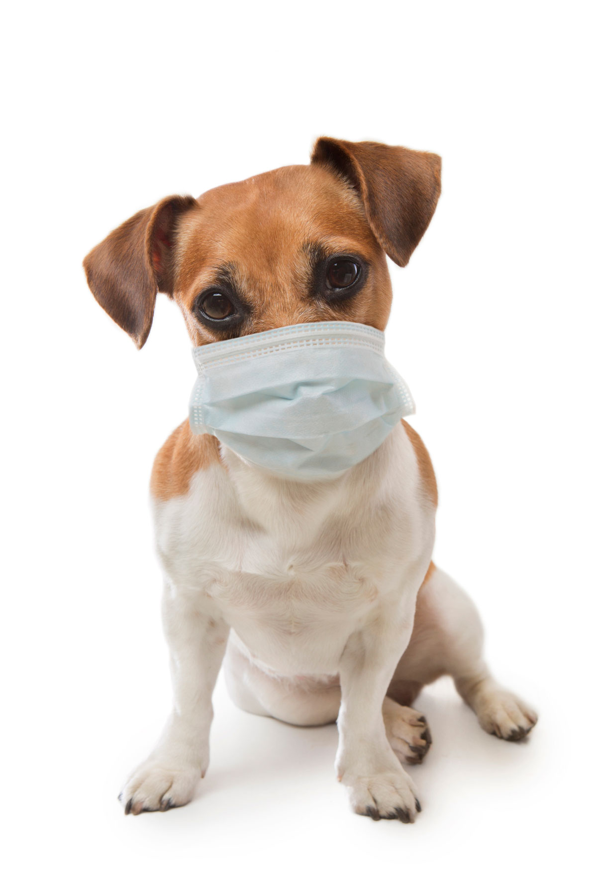 Dog with dog flu wearing a sick mask