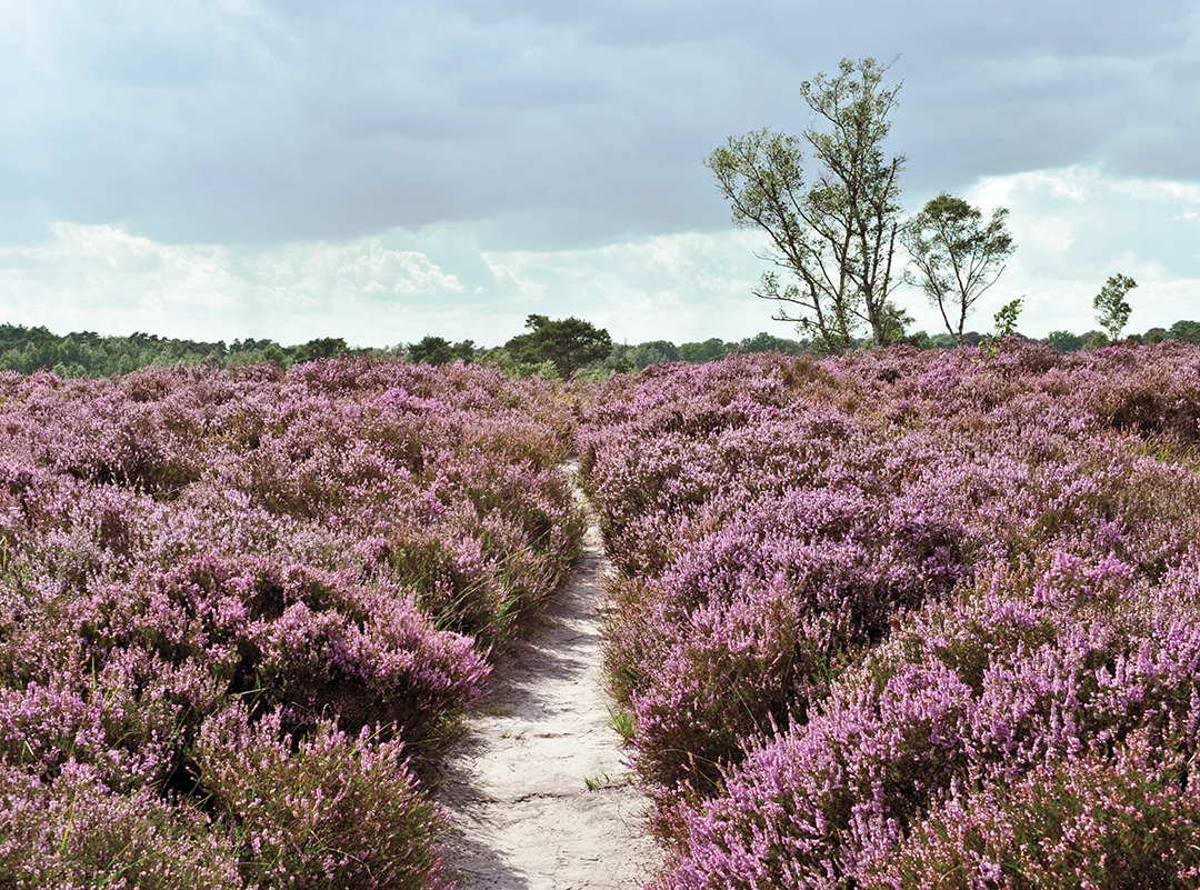 pink flower field with path