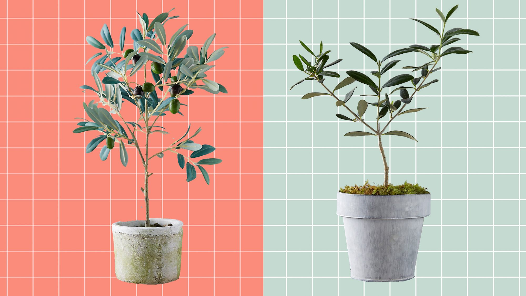 real and faux olive tree houseplants in pots