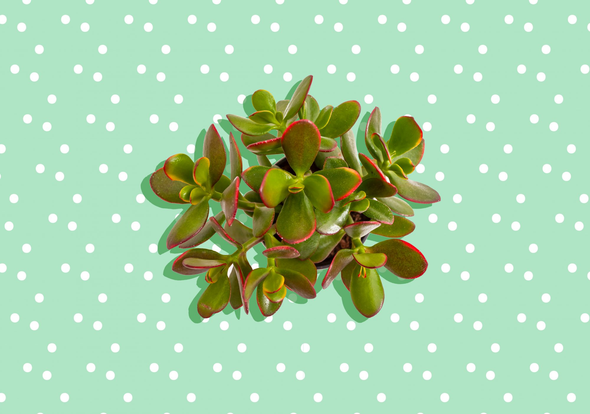 Easy Jade Plant Care Tips