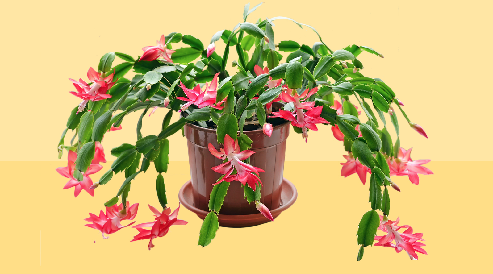thanksgiving-christmas-cactus