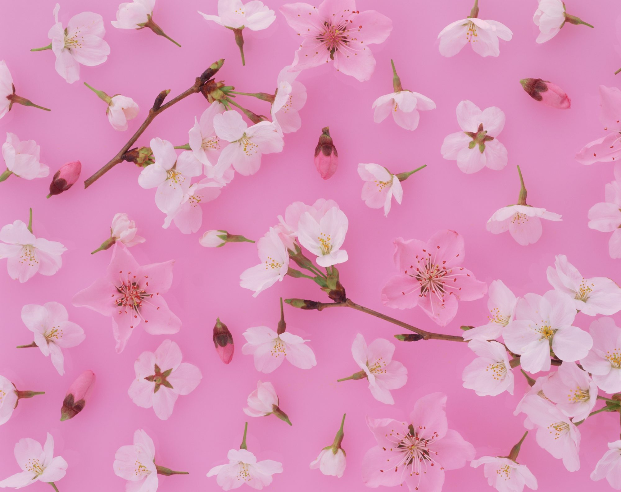 cherry blossoms: spring activities to do during coronavirus outbreak