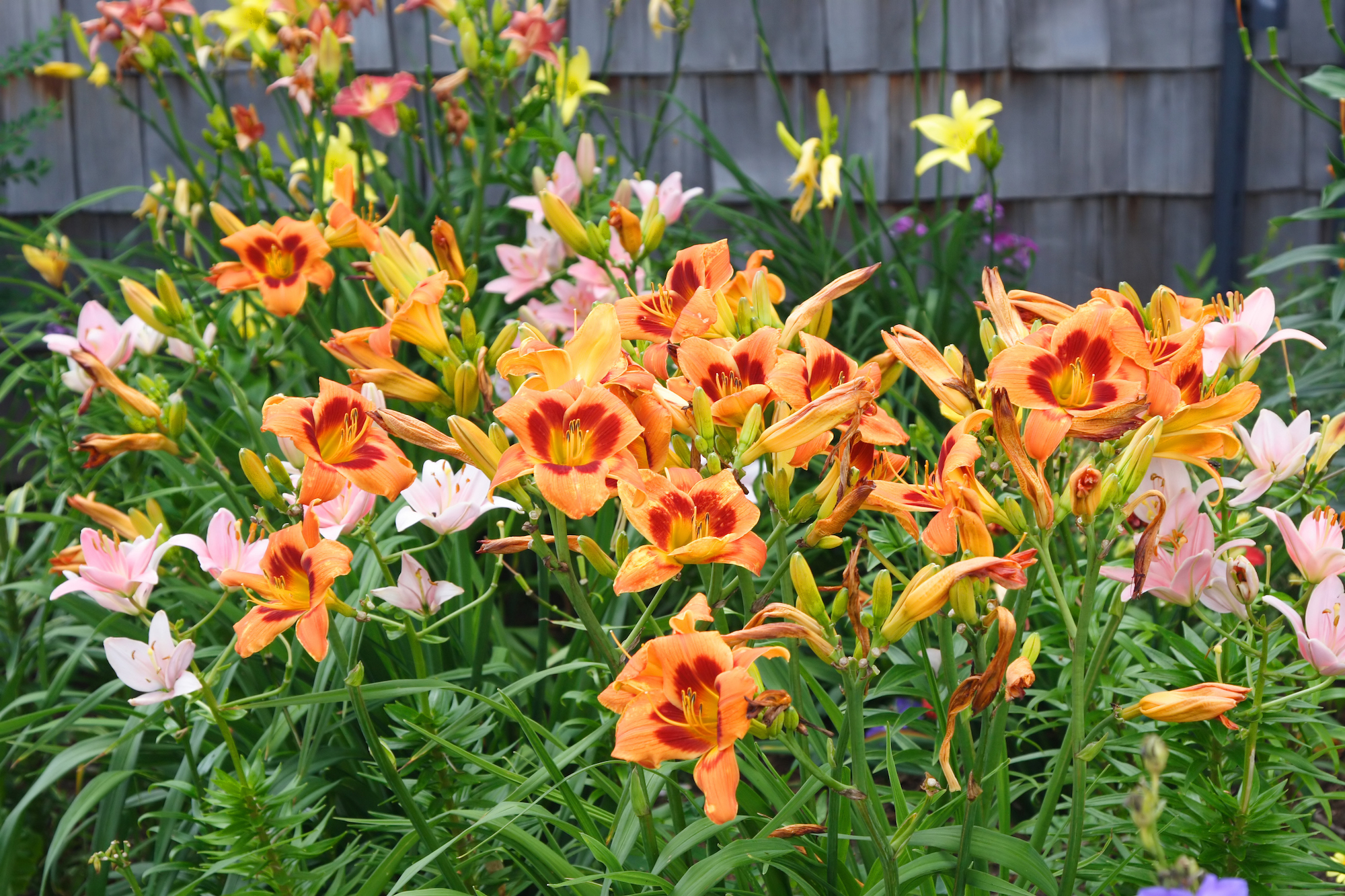 Daylily blooms in yard