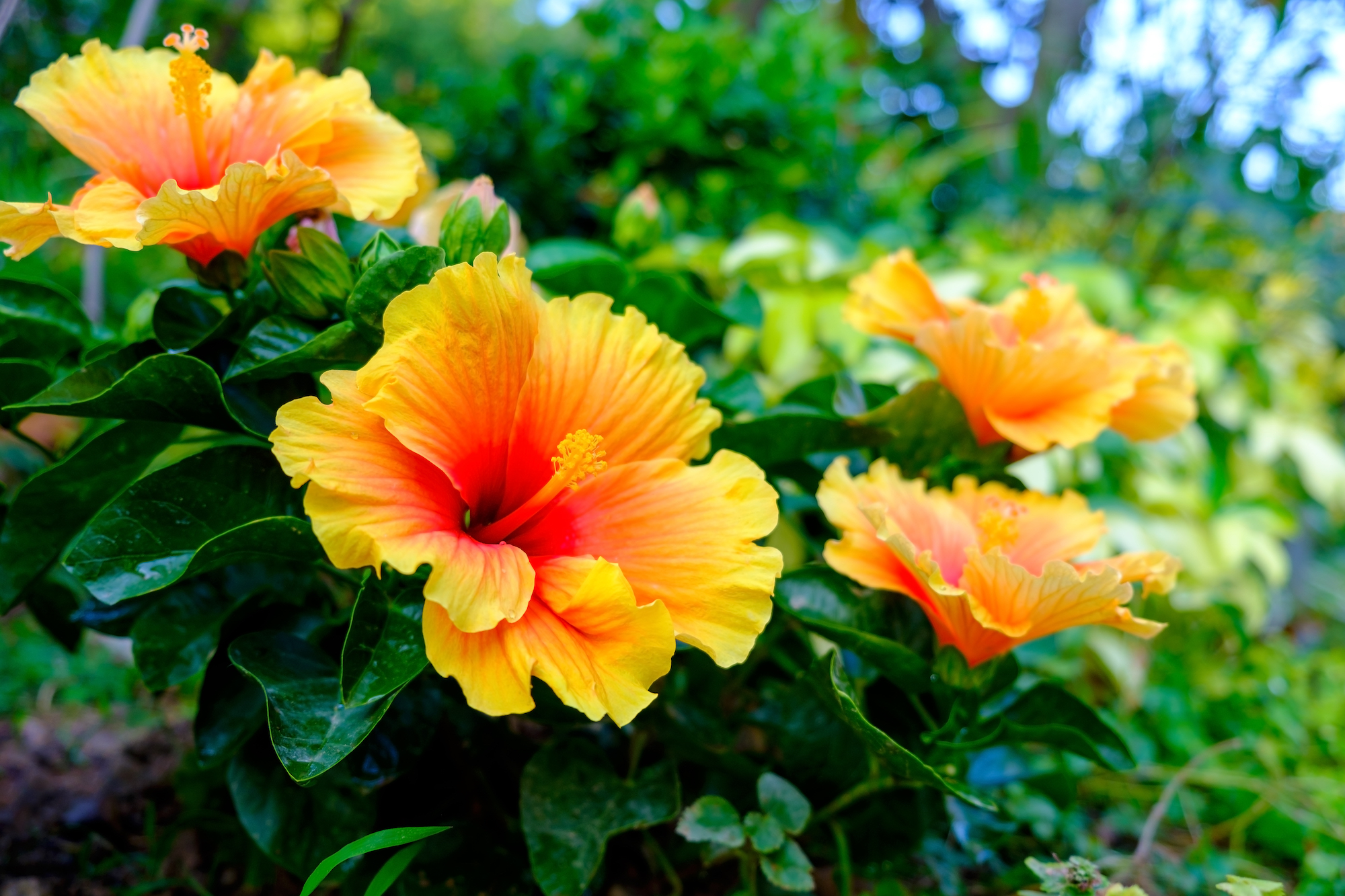 Hardy hibiscus plant flower