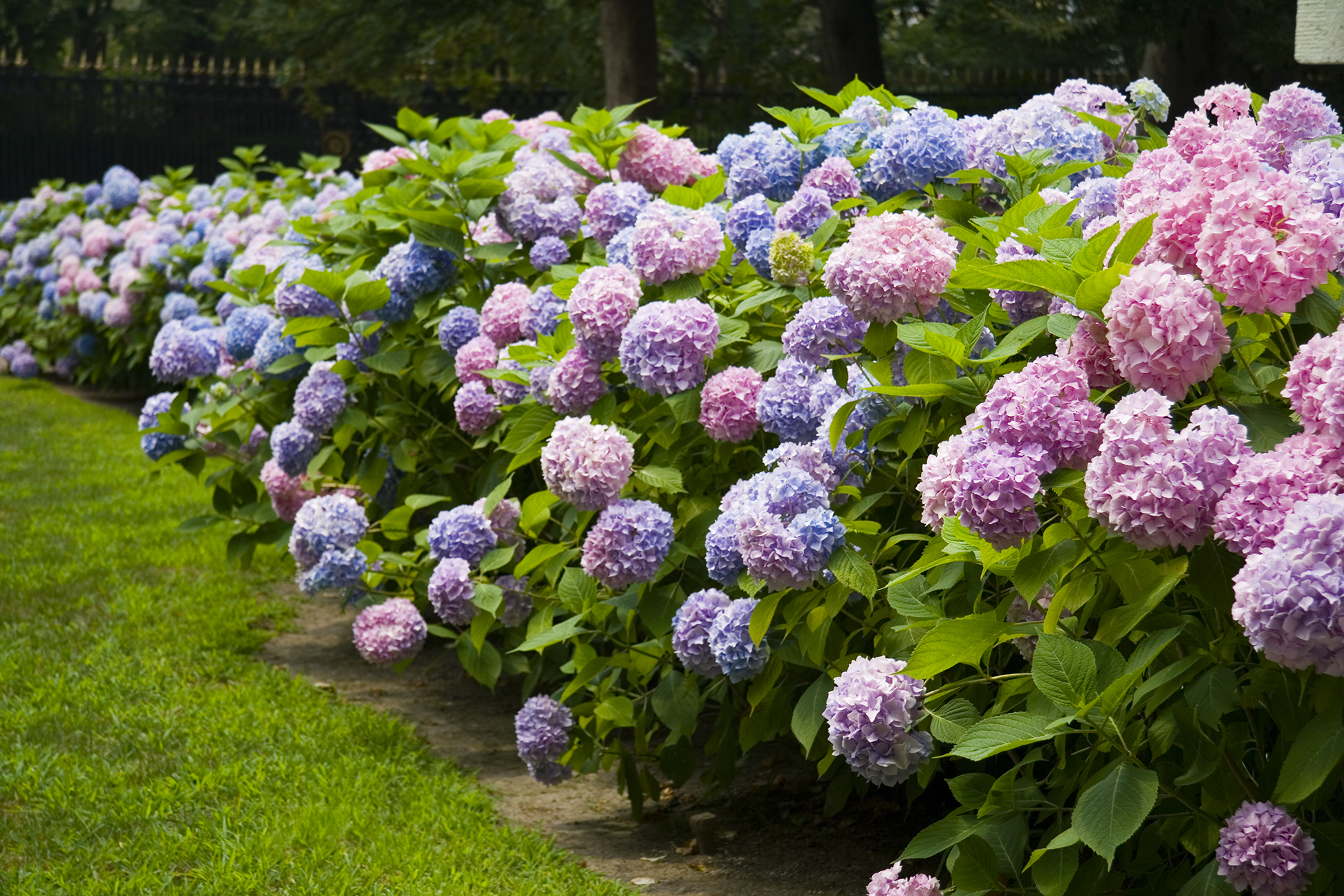 Fluffy pink and purple hydrangea plants