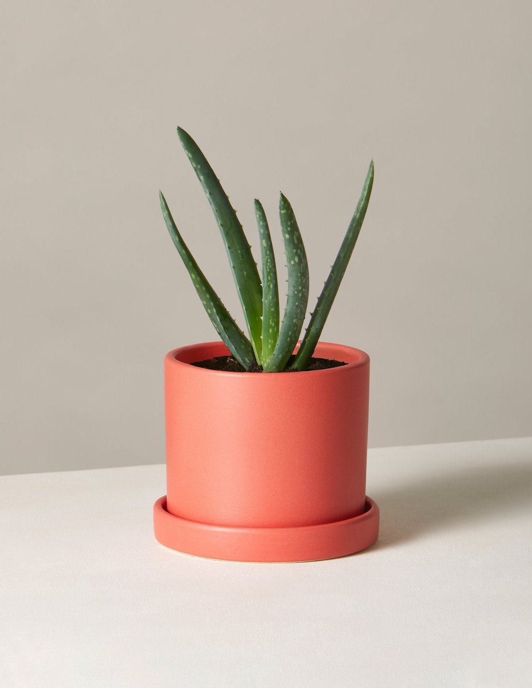 Aloe plant in pink pot