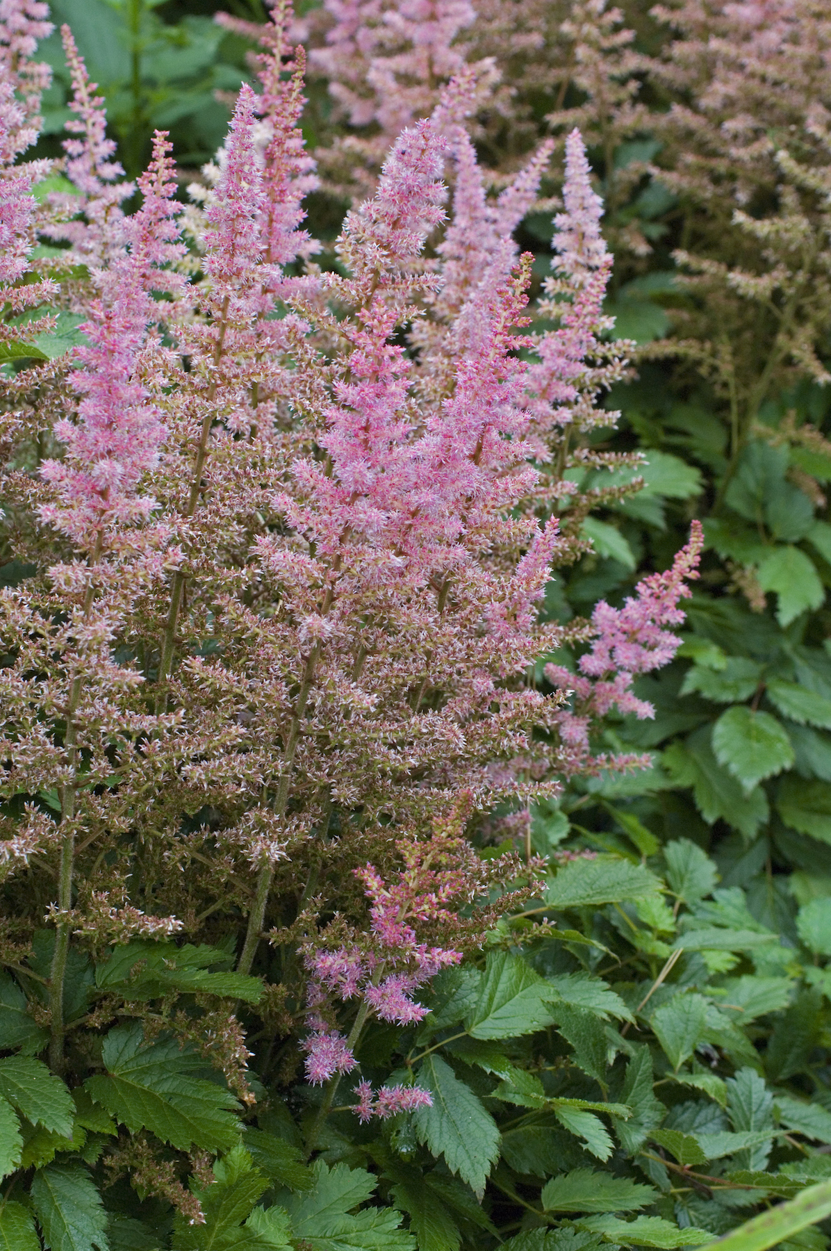 Colorful Outdoor Plants, Astilbe