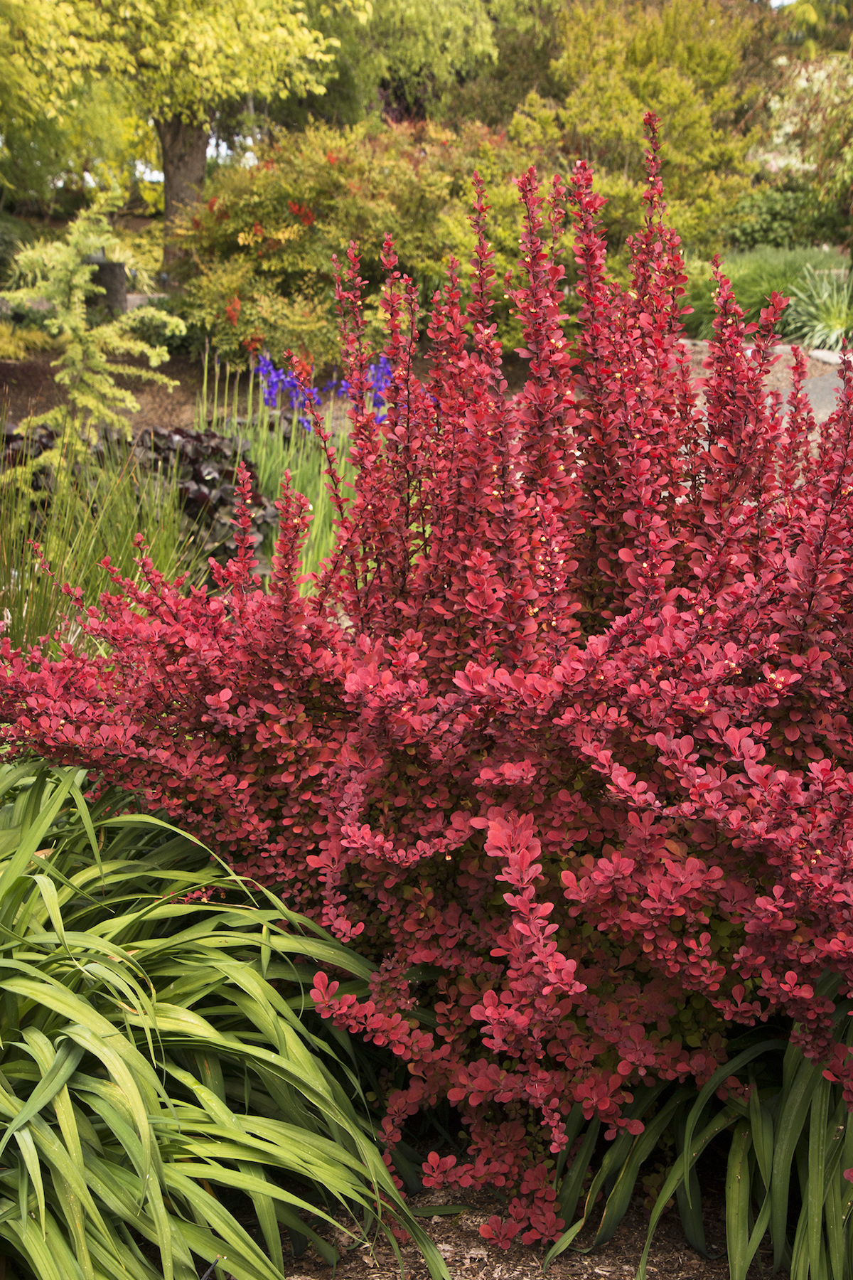 Colorful Outdoor Plants, Barberry