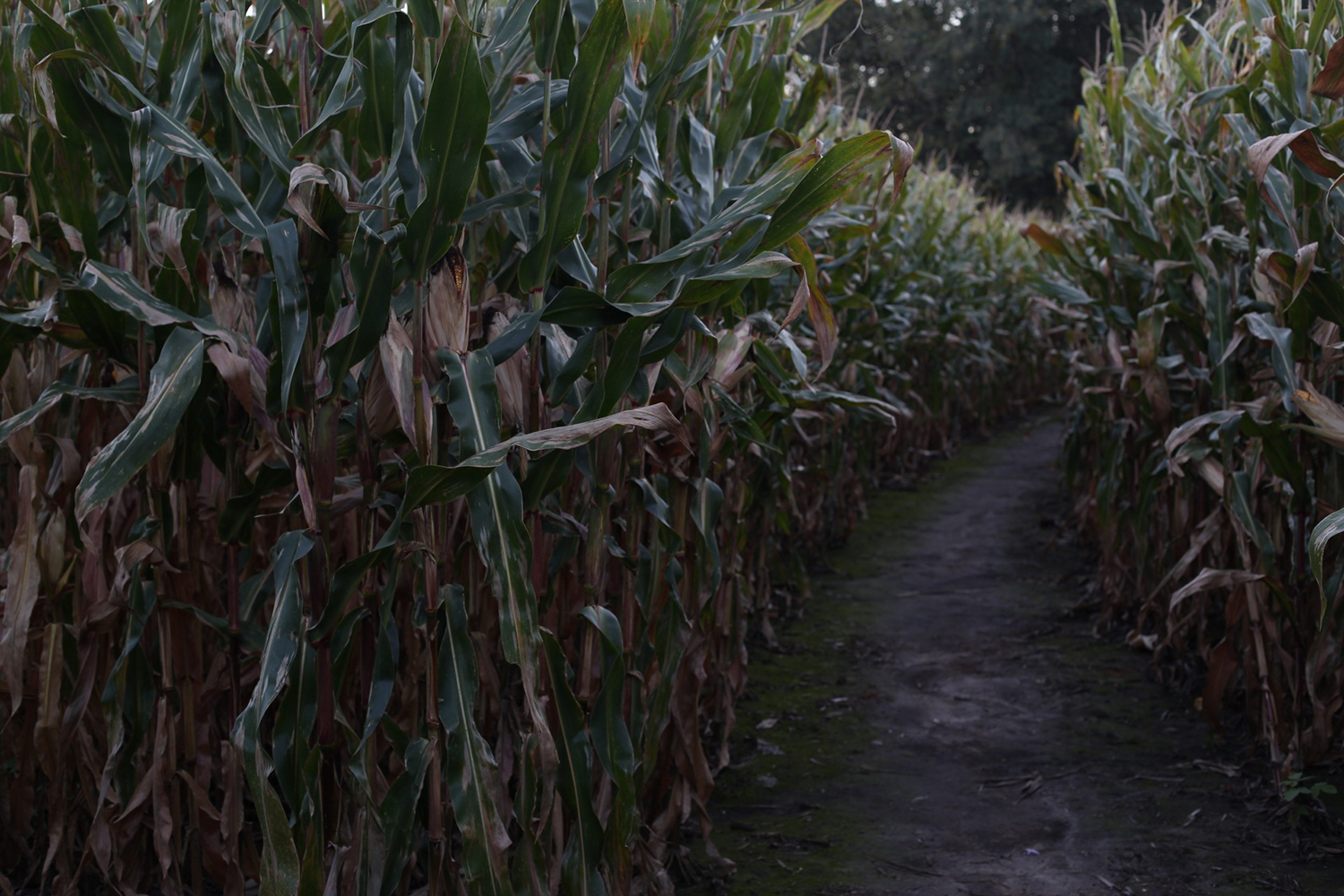 The Creepiest Corn Mazes