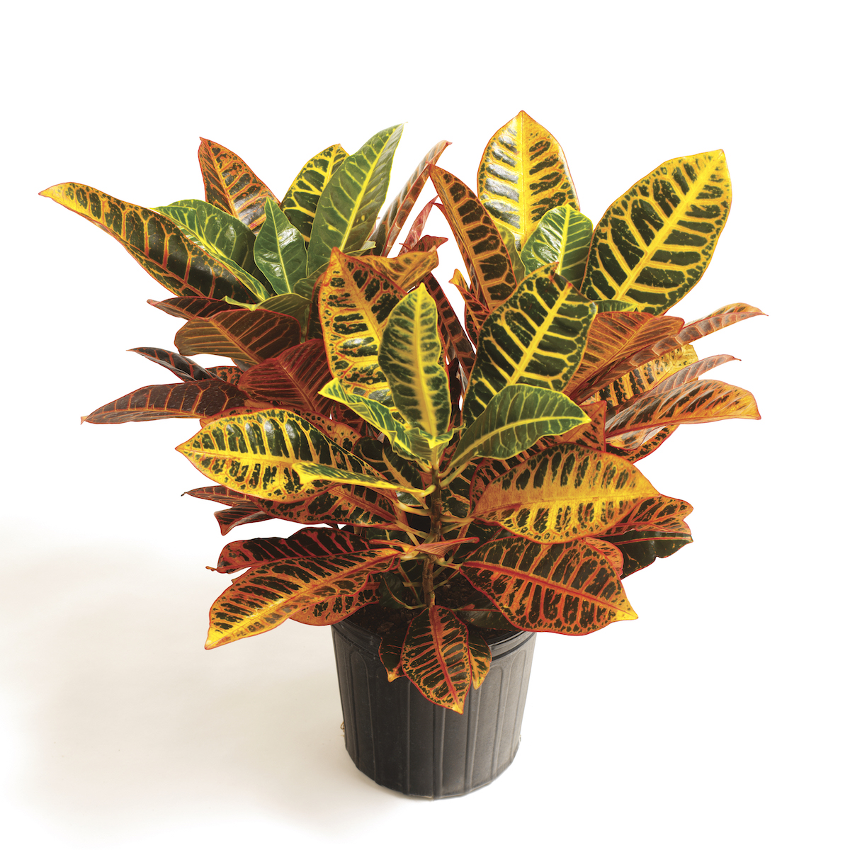 Difficult House Plant, Croton