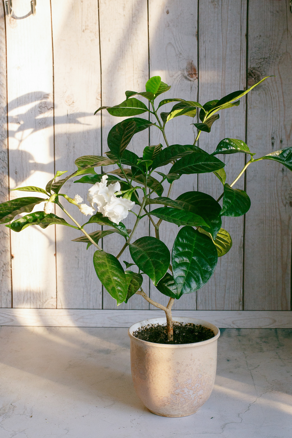 Difficult House Plant, Gardenia with white flower