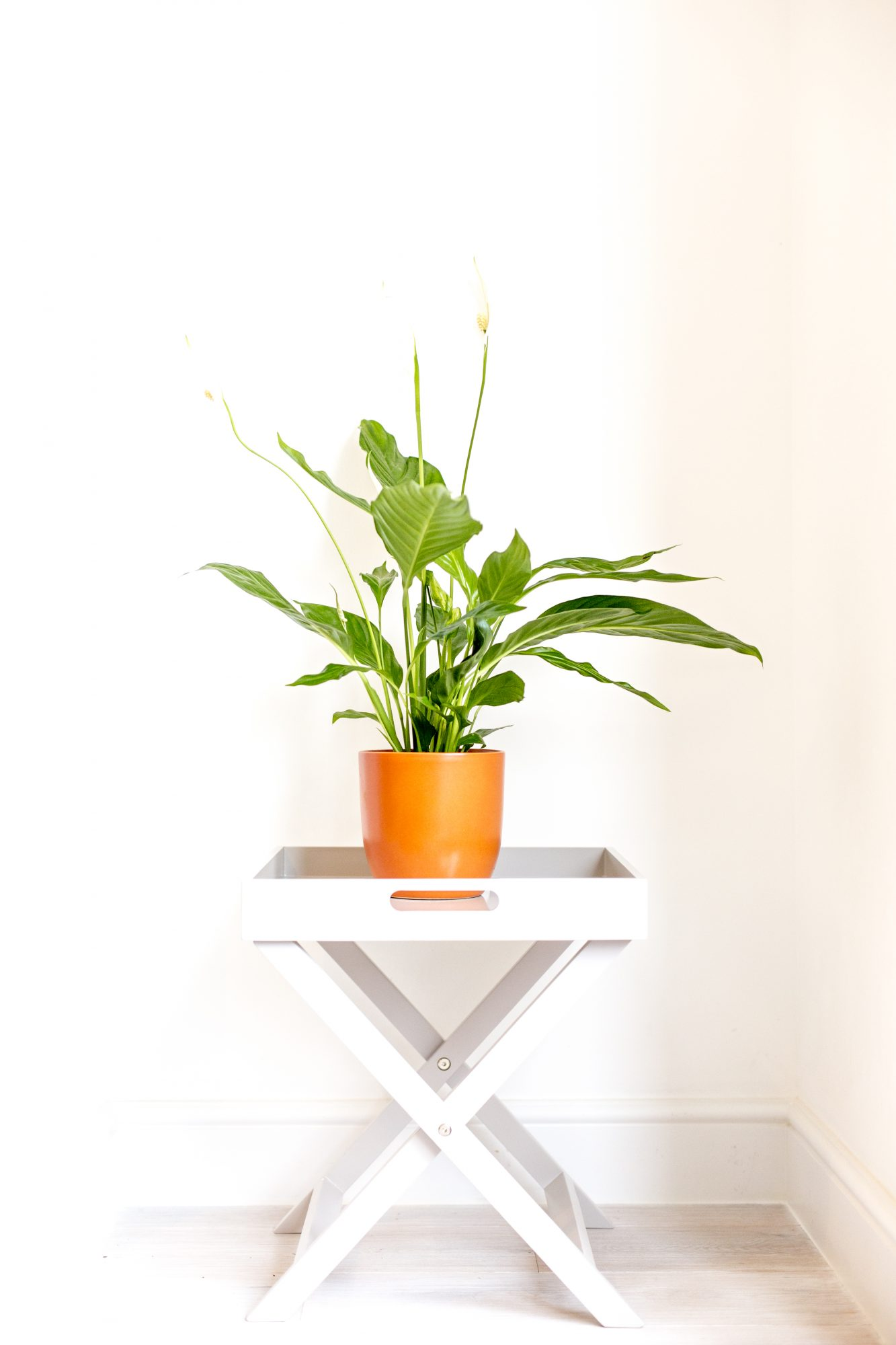 Difficult House Plant, Peace Lily
