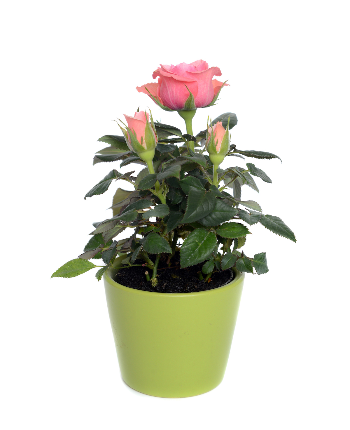 Difficult House Plant, miniature pink Roses